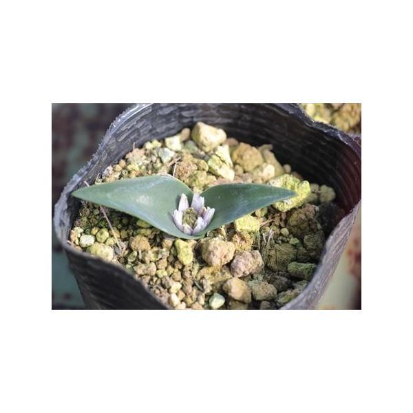 Polyxena calcicola/ポリキセナ・カルキコラ|ohgi-nursery