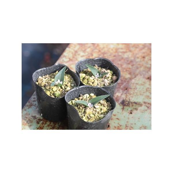 Polyxena calcicola/ポリキセナ・カルキコラ|ohgi-nursery|02