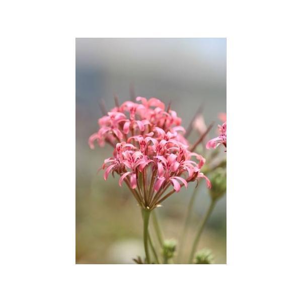 Pelargonium petroselinifolium/ペラルゴニウム・ペトロセリニフォリウム|ohgi-nursery