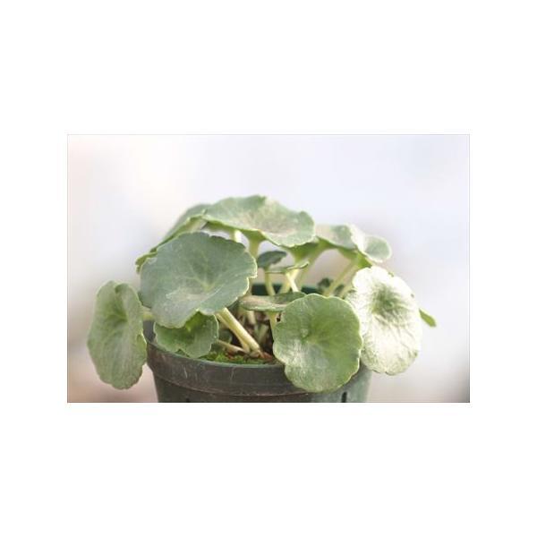 Umbilicus rupestris/ウンビリクス・ルペストリス(玉杯)|ohgi-nursery