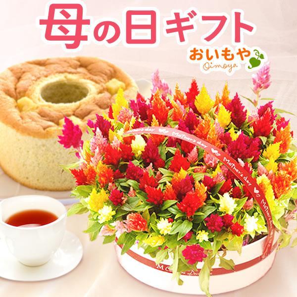 母の日ギフト ランキング プレゼント 花 mothersday スイーツ 鉢植え ケイトウ 5号鉢 flower|oimoya