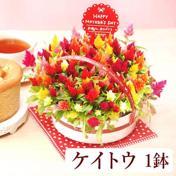 母の日ギフト ランキング プレゼント 花 mothersday スイーツ 鉢植え ケイトウ 5号鉢 flower|oimoya|03