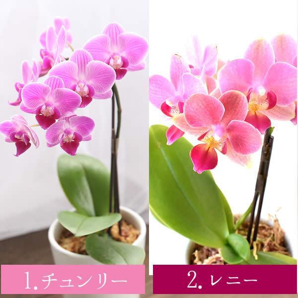 母の日 ギフト 花 母の日 花鉢 プレゼント 花とスイーツ 2020 ギフトランキング 胡蝶蘭 鉢植え お菓子|oimoya|05
