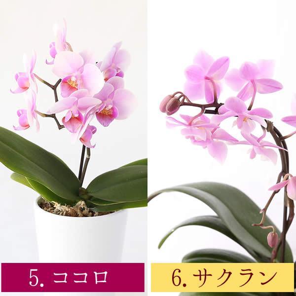 敬老の日 プレゼント ギフト ランキング スイーツ 花 胡蝶蘭とスイーツセット|oimoya|07