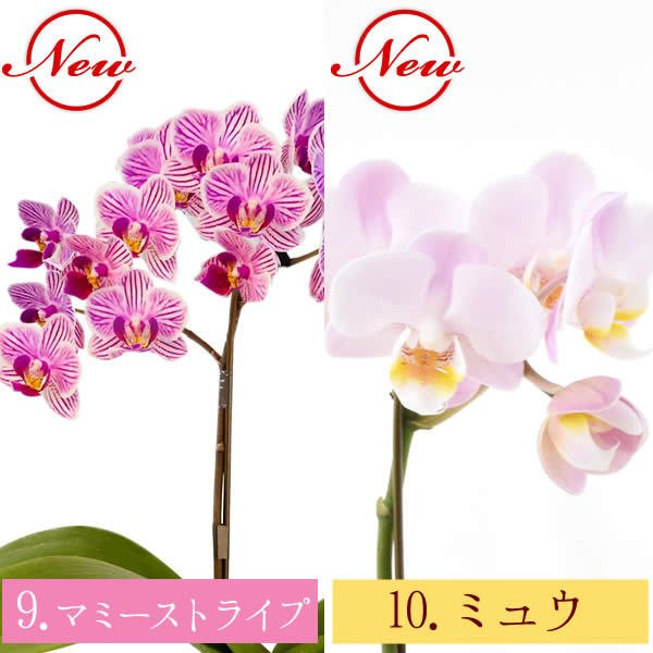 母の日 ギフト 花 母の日 花鉢 プレゼント 花とスイーツ 2020 ギフトランキング 胡蝶蘭 鉢植え お菓子|oimoya|09