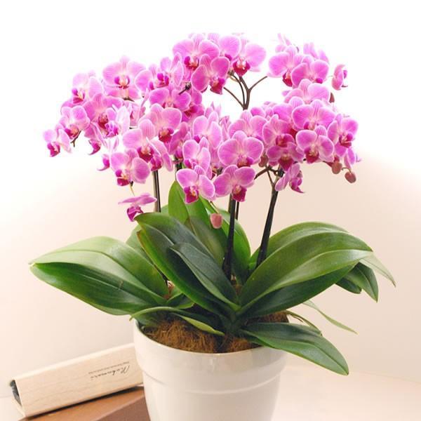 母の日 花 ギフト 母の日プレゼント 2019 mothersday 鉢植え スイーツ カーネーション以外 oimoya 09