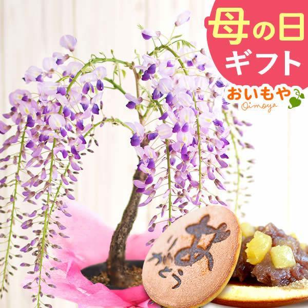 母の日ギフト 2018 花 ランキング 盆栽 藤 どら焼き スイーツセット|oimoya