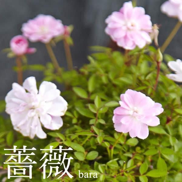 母の日 花 ギフト 母の日プレゼント 2019 mothersday 鉢植え スイーツ カーネーション以外|oimoya|03