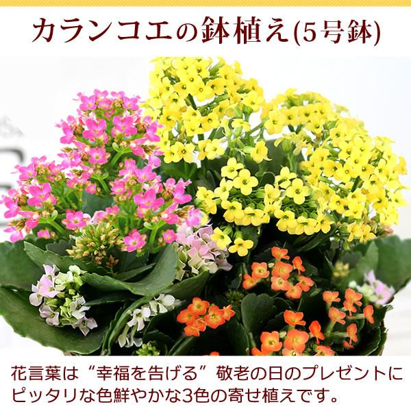 母の日プレゼント ギフト ランキング mothersday 花 スイーツ 限定ギフト あじさい 鉢植え 5号鉢|oimoya|07