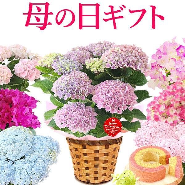 母の日ギフト ランキング 2018 mothersday 花 スイーツ フラワー ギフト 鉢植え あじさい 5号鉢|oimoya