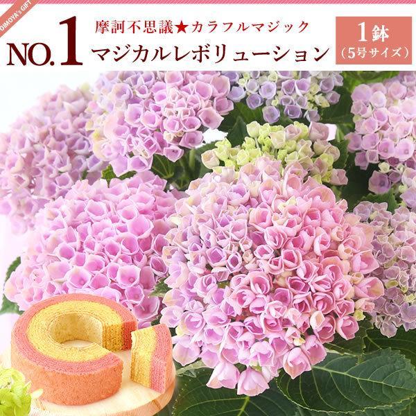 母の日ギフト ランキング 2018 mothersday 花 スイーツ フラワー ギフト 鉢植え あじさい 5号鉢|oimoya|03
