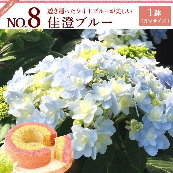 母の日ギフト ランキング 2018 mothersday 花 スイーツ フラワー ギフト 鉢植え あじさい 5号鉢|oimoya|10
