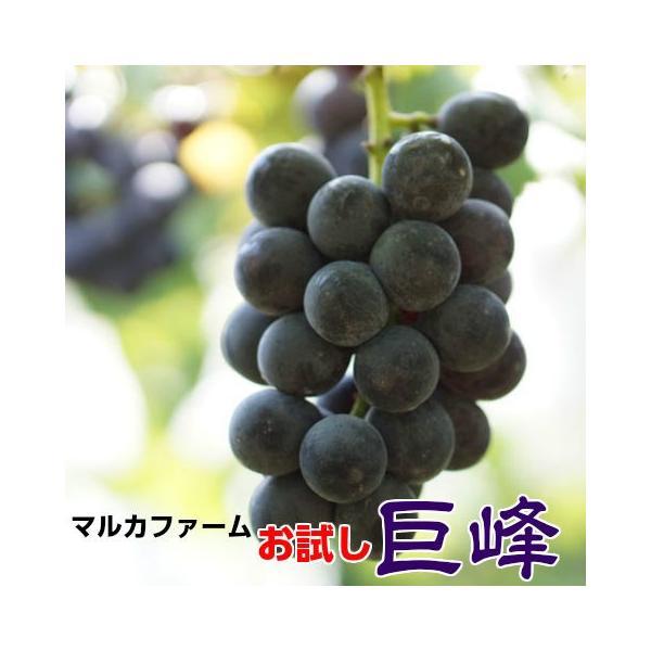 お試し 巨峰 茨城県  巨峰予約 ぶどう フルーツ  朝採り 種なし巨峰 約2kg 不揃い ご家庭用  葡萄 種無し 訳あり 甘い 美味しい 産地直送