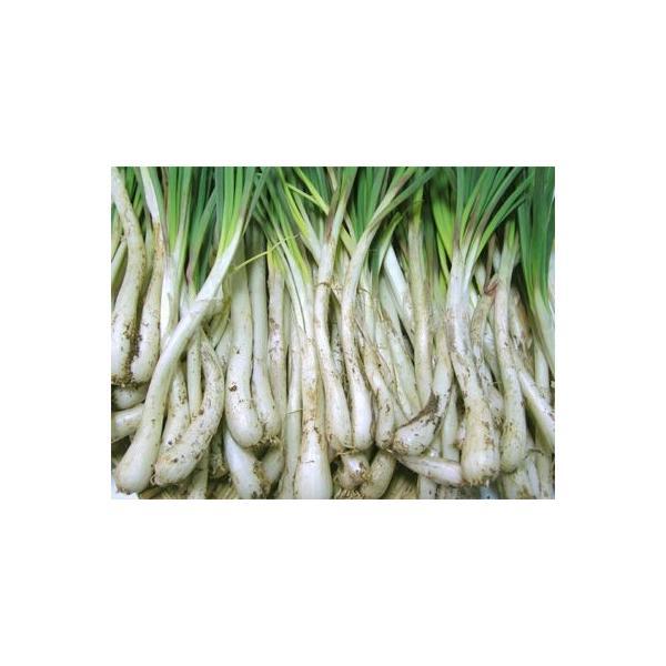 (送料込み)沖縄県産島らっきょう(生)3kg(野菜 沖縄産 特産品 らっきょう)(沖縄限定 沖縄 お土産)