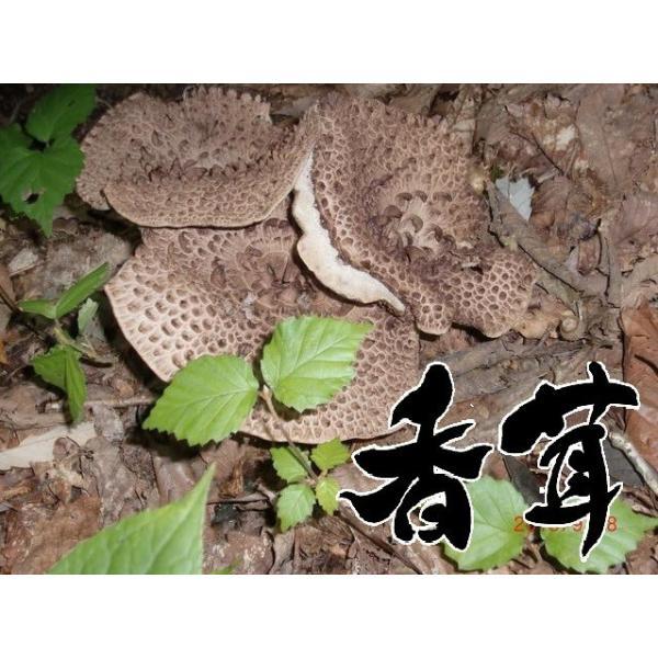 天然キノコ (天然きのこ 国産) 香茸 (シシタケ・こうたけ・こう茸・いのはな) 秋の味覚 300g  松茸/まいたけ  だけがキノコじゃない