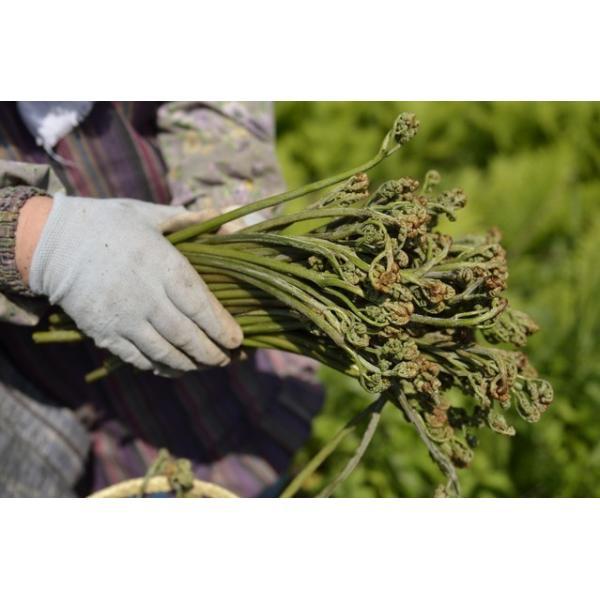 天然 山菜 ワラビ(紫わらび どじょう蕨)1kg 太く柔らく滑り強く香り高いのが自慢  春の味覚 山の幸 採りたてを産地直送|okuaizushunsaikan-y