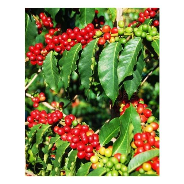 ハワイで有名な希少価値のコナコーヒー特大苗・数量限定です・鉢底から60cmほど|okuhida-fram|03