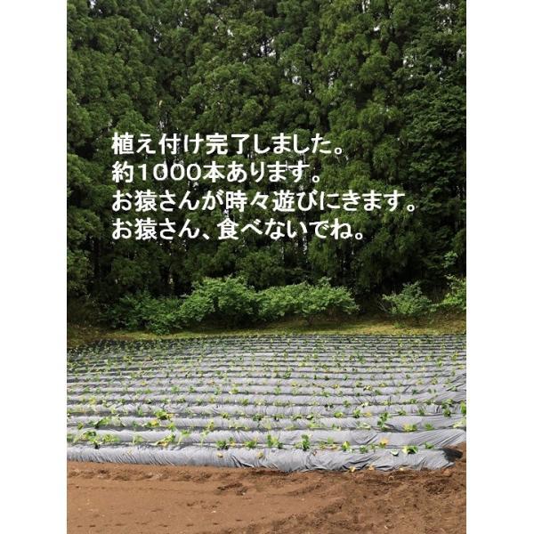 【増産100袋限定】この冷凍焼き芋で感動してください。こんな焼き芋食べたことない! あなたを笑顔&元気にする冷凍焼き芋(紅はるか)400g 家庭用  |oomugiya-isakoubou|11