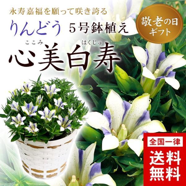 りんどう「ここみ白寿」鉢植え5号