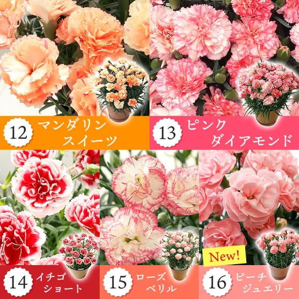 母の日 ギフト 早割 花 カーネーション 選べる16種類 5号 鉢植え 送料無料 プレゼント 花鉢 花束 珍しい 希少 綺麗 キレイ かわいい おしゃれ|organic|05