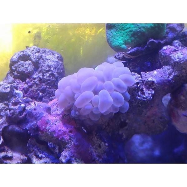 珊瑚(サンゴ)バブル
