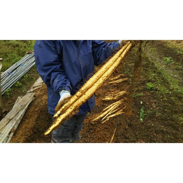 産地直送 新潟県産 令和2年産 おおしま育ち 深山自然薯2本(1.3kg〜1.6kg) 数量限定|oshima-sodachi|03
