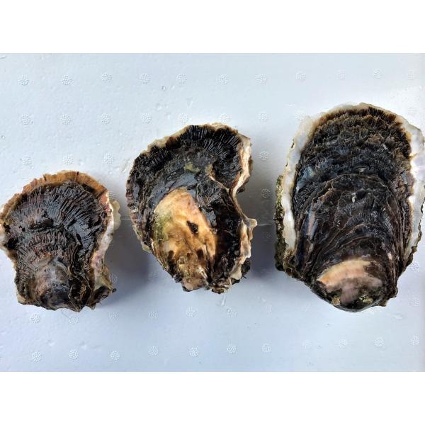 岩牡蠣 能登産 2 kg   (6〜8個)(牡蠣ナイフ、片手用軍手付) 送料無料 otasuisan 05