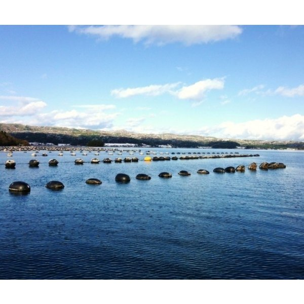 岩牡蠣 能登産 2 kg   (6〜8個)(牡蠣ナイフ、片手用軍手付) 送料無料 otasuisan 08