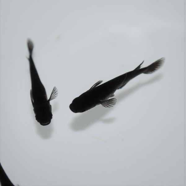 めだか生体 長州夢めだか オロチ5匹セット成魚黒体色ブラックメダカ観賞魚淡水魚アクアリウム山口県産