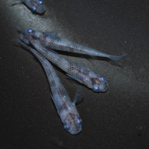 めだか生体 長州夢めだか すみれ(藍斑)5匹セットブチめだか成魚紫観賞魚淡水魚アクアリウム山口県産