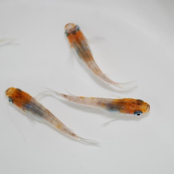 めだか生体 長州夢めだか 雲州三色5匹セット成魚三色和風観賞魚淡水魚アクアリウム山口県産