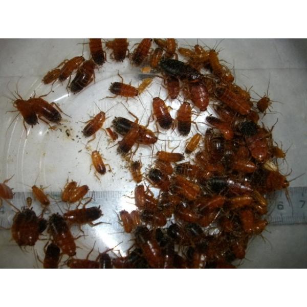 レッドローチ小中混合|pantanal0101