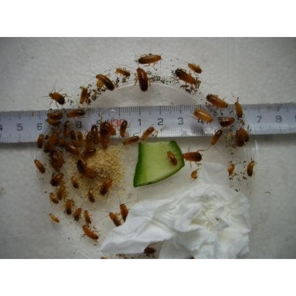 レッドローチ小中混合|pantanal0101|02