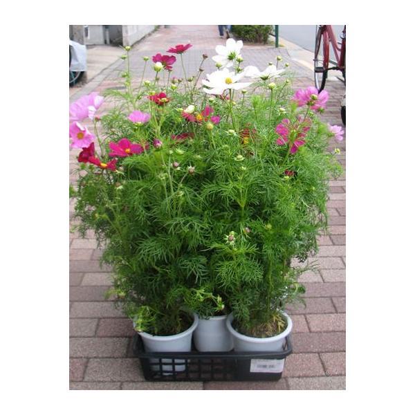 コスモスの花鉢