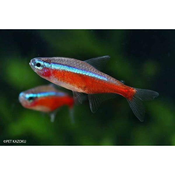 |(送料無料) (熱帯魚) カージナルテトラ (ブリード) 30匹