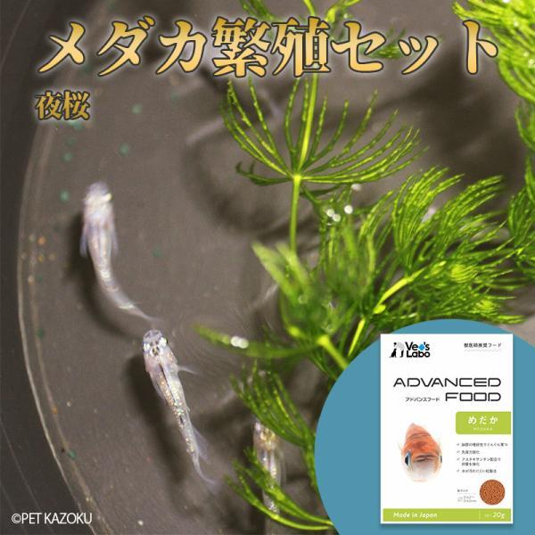 メダカ繁殖セット<夜桜+マツモ+フード>
