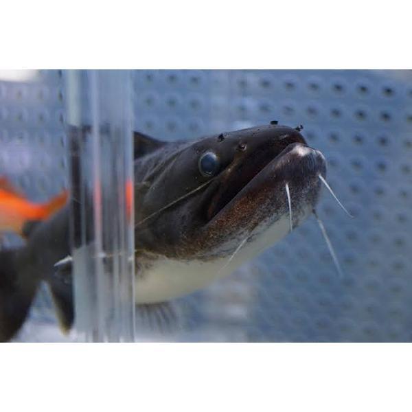 淡水魚 難あり激安大きめバトラクスキャットワイルド 1匹 (±10-12cm)(生体)