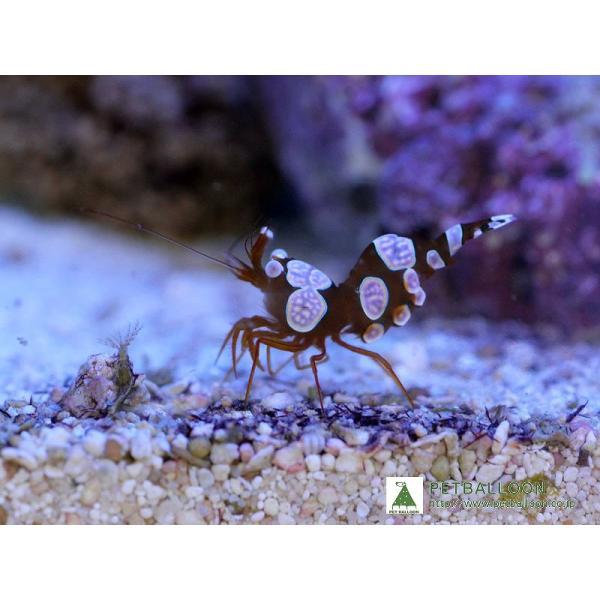 |【海水魚】セクシーシュリンプ(イソギンチャクモエビ)(5匹)(生体)