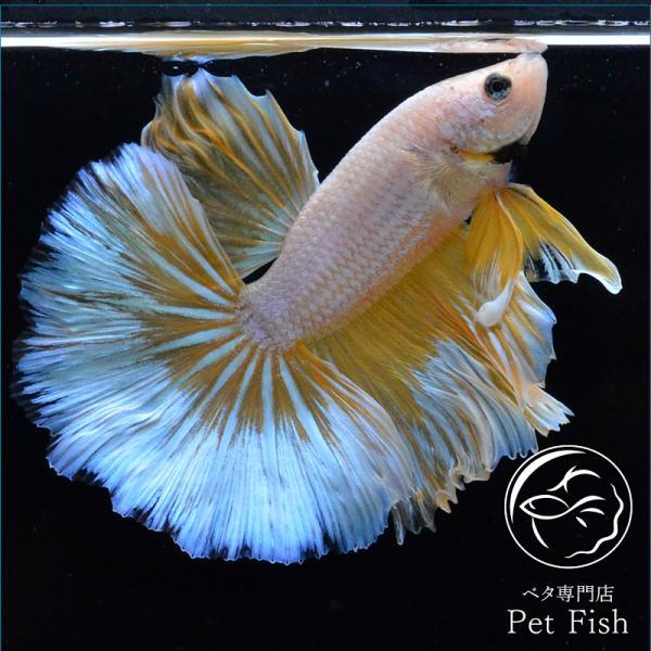 ベタ熱帯魚生体ショーベタイエローバタフライオス