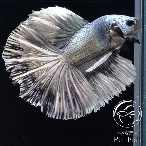 ベタ熱帯魚生体ショーベタカッパーホワイトオス