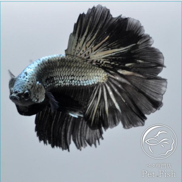 ベタ熱帯魚生体ショーベタブラックドラゴンオス