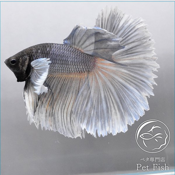 ベタ熱帯魚生体ショーベタダンボオス