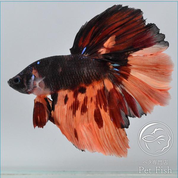 ベタ熱帯魚生体ショーベタニモオス