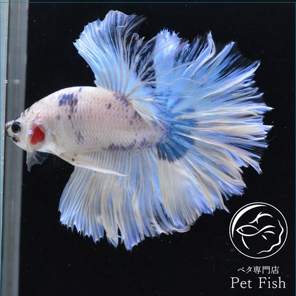 ベタ熱帯魚生体ショーベタブルーマーブルオス
