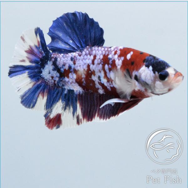 ベタ熱帯魚生体プラカットコイギャラクシーオス