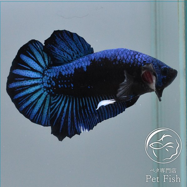 ベタ熱帯魚生体プラカットブルーサムライオス