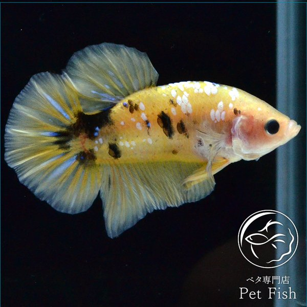 ベタ熱帯魚生体プラカットイエローコイオス