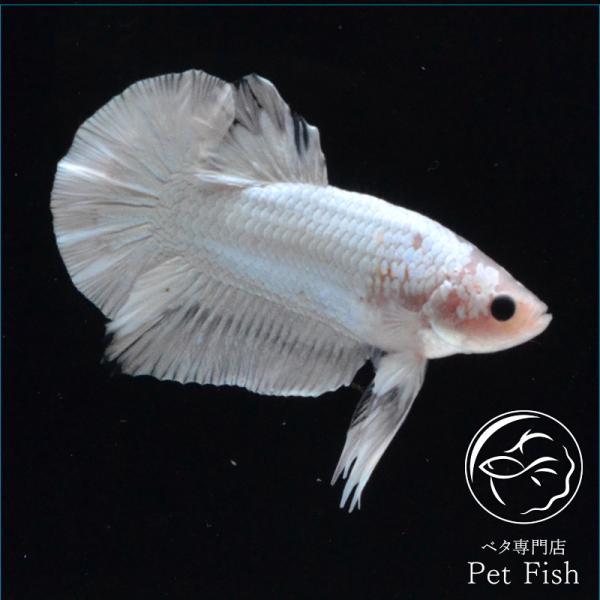 ベタ熱帯魚生体プラカットファンシーカッパーオス