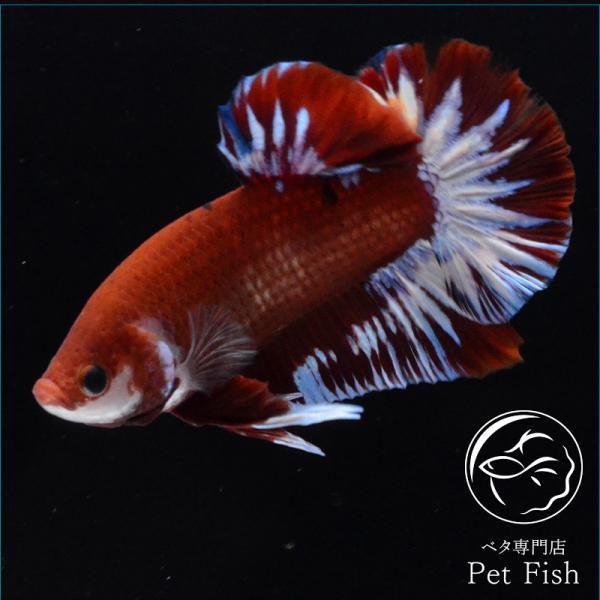 ベタ熱帯魚生体プラカットヘルボーイオス