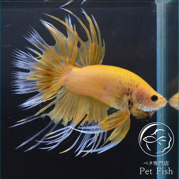 ベタ熱帯魚生体クラウンテールイエローバタフライオス